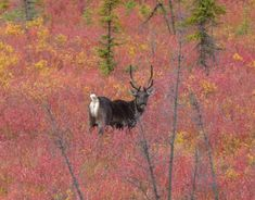 Reindeer and fall colors on the Taylor Highway in Alaska. What wildlife or nature watching be any better? You'll definitely want to include the Taylor Highway on your Alaska Highway road trip itinerary. #YukonHo!
