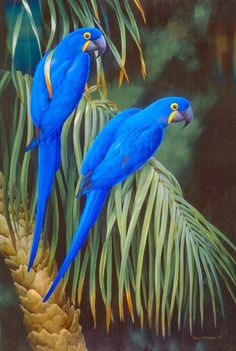 The Beauty of Hyacinth Macaws ✔zϮ. Central and Eastern South America.