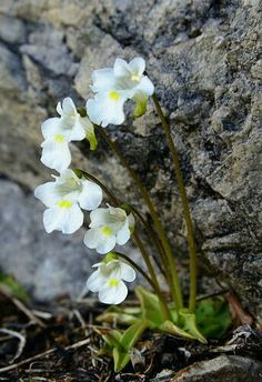Alpine Garden, Alpine Plants, Amazing Flowers, White Flowers, Beautiful Flowers, Rock Plants, Alpine Flowers, Bloom Where Youre Planted, Landscaping Retaining Walls