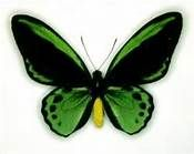 rare butterflys pics - Bing Images