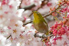 2012 White-eye and Cherry blossoms | Photo by: shinichiro | #japan | #birds | sakura