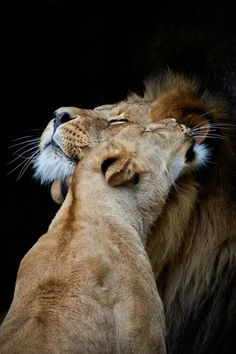 Lion cuddles - Belezza,animales , salud animal y mas Beautiful Cats, Animals Beautiful, Animals And Pets, Cute Animals, Wild Animals, Baby Animals, Gato Grande, Lion And Lioness, Lion Love