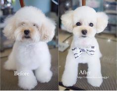Before & after dog grooming. What a cutie! You can find dog harnesses, collars and accessories at chic-dog-boutique.com to make your furbaby adorable as this! #DogGrooming #DogsGrooming