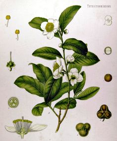 Camellia sinensis / Chinese thee