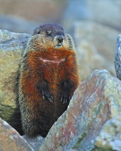 Woodchuck by Tony Beck