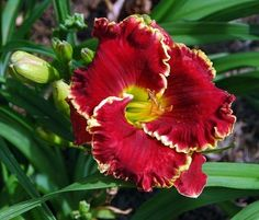 Photo of Daylily (Hemerocallis 'Scarlet Angel') uploaded by shive1