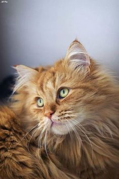 Interested in owning a Maine Coon cat and want to know more about them? We've made this site to tell you all you need to know about Maine Coon Cats as pets Pretty Cats, Beautiful Cats, Animals Beautiful, Cute Animals, Pretty Kitty, Stunningly Beautiful, Gatos Maine Coon, Maine Coon Cats, Kittens Cutest