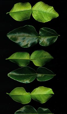 Kaffir lime leaves - as gathered from the tree in Emme Levine's SF garden