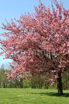 kersenboom met kersenbloesem