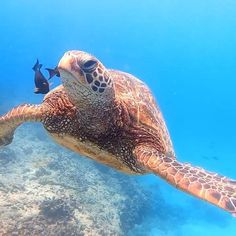Hope you are having a relaxing and safe weekend like this green sea turtle. 😍🐢 #weekendvibes✌️   #turtle #greenseaturtle #hawaaii #diveoahu #clearestwater #scubadiving #snorkeling #freediving   Video Credit: IG user @five_star_homeless_girl Giant Sea Turtle, Baby Sea Turtles, Underwater Video, Underwater World, Underwater Creatures, Ocean Creatures, Sea Turtle Wallpaper, Sea Turtle Pictures, Sea Video