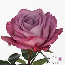<p> Rose Moody Blues 40cm is a lovely Lilac cut flower - wholesaled in Batches of 20 stems. As a rule of thumb, the taller the stem the larger the flower head & longer the vase life.</p>