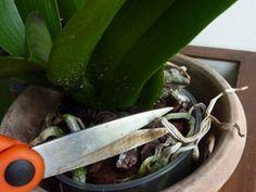 Couper les racines sèches de l'orchidée