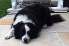 Levi our Boarder Collie