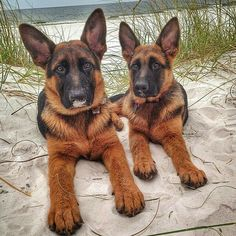 GSDs... at the beach