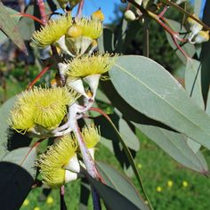 EUCALYPTUS woodwardii. Native to Western Australia; medium sized tree with bright, yellow flowers. Erect straight stem and branching, smooth greyish brown bark. Leaves broadly lanceolate to ovate, 15 cm long. Frosty grey flowers buds occurring in groups of 7 opening to brilliant yellow flowers from winter to summer.