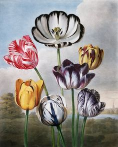 """design-is-fine: """" Robert John Thornton, A group of Tulips, From the book New Illustration of the Sexual System of Carolus von Linnaeus … The Temple of Flora. Painting by Philip Reinagle."""