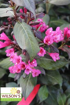 Weigela Minor Black - Deep red foliage so dark that it actually appears to be black from the distance is stunning. Deep red flowers adorn the blackish foliage foil in May/June.