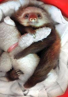 baby sloth hugging a teddy bear