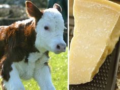 many cheeses are made using rennet, which is the fourth stomach of a young cow. and yes the calf is slaughtered