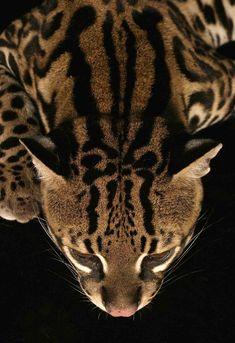 Ocelot, aka 'dwarf leopard'
