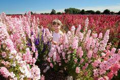 The Confetti Flower Fields 2014 - Cera in the delphiniums. Photo by Geoff Robinson.