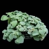 Wholesale 10PCS Crassula Nemorosa Seed Anti-radiation Succulent  Plant - click to order