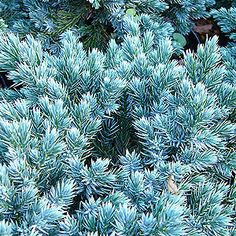 Plant Pictures: A Large image of Juniperus squamata - 'Blue Star' (Juniper) Garden On A Hill, Sun Garden, Small Shrubs, Trees And Shrubs, Juniperus Squamata, Blue Star Juniper, Juniper Plant, Blue Plants, Border Plants