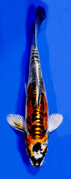 Kin Kikokuryu - Koi Variety Guide | Blue Ridge Fish Hatchery