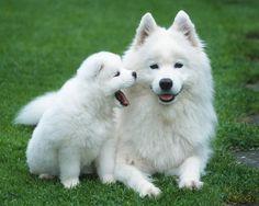Samoyedo #animales #perros