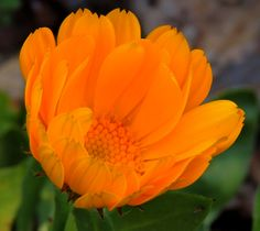 Language Of Flowers, Calendula, Orange Flowers, Passion, Plants, Beautiful, Herbs, Meaning Of Flowers, Orange Blossom