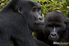 Gorilla Tracking in Uganda — Part I: The First Sighting