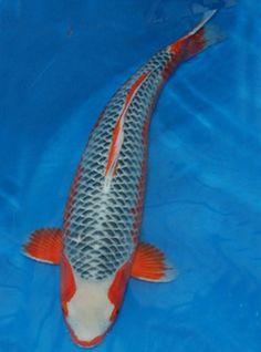 Gin rin platinum ogon metallic white koi also known as for Scott and white fish pond