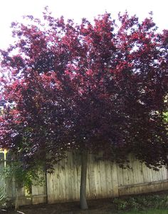 Purple Leaf Plum Tree (fruitless!) next to the gingkos, because I love the color combination when the gingkos turn yellow