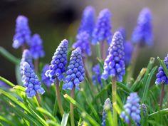 flores imagens, papéis de parede Muscari, Primavera do vetor, deixa fundos…