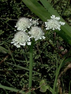 Oenanthe fistulosa Tubular water-dropwort Pond Plants, Ponds, Dream Garden, Planting, Dandelion, June, Water, Image, Flowers