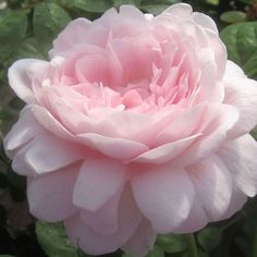 """""""Queen of Sweden"""" Wide, shallow cupped blooms (petals 100+) of a soft pink and exuding a mild myrrh fragrance are beautiful at any stage. An upright repeat blooming bushy growth habit with few thorns. Makes a good cut flower."""