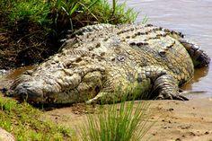 Krokodyl nilowy może osiągnąć długość 5,5 m i ciężar około 1 tony. Występuje prawie w całej Afryce na południe od Sahary i na wyspie  Madagaskar. Był czczony w starożytnym Egipcie. Płeć krokodyli zależy od temperatury, w jakiej przebywają jaja. Jeśli średnia temperatura w gnieździe wynosi poniżej 31,7 °C lub powyżej 34,5 °C, z jaj wylęgną się samice.