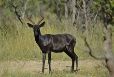 Rare Animals, Zoo Animals, Animals And Pets, Beautiful Creatures, Animals Beautiful, Impala Animal, Animals With Horns, Melanistic Animals, African Antelope