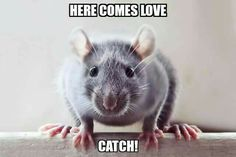 Ratties added 834 new photos. Funny Rats, Cute Rats, Funny Hamsters, Funny Mouse, Rat Care, Animals And Pets, Cute Animals, Dumbo Rat, Woodland Creatures