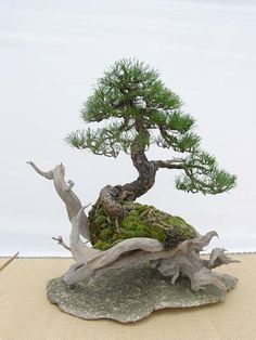 Explore bobbybonsai photos on Flickr. bobbybonsai has uploaded 44 photos to Flickr.