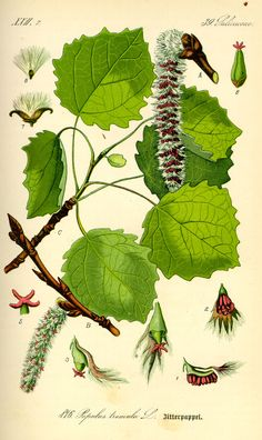 """Aspen: fear of the unknown; """"the trembling tree"""" anxious anticipation, foreboding, dread. Aspen, Nature Illustration, Botanical Illustration, Botanical Drawings, Botanical Prints, Bach Flowers, Impressions Botaniques, Illustration Botanique, Fruit Plants"""