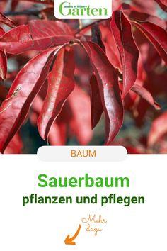 Kennt ihr den Sauerbaum? So pflanzt und pflegt ihr die Gehölzrarität mit den maiglöckchenartigen Blüten und der feurigen Herbstfärbung. #sauerbaum #baum #gehoelz #meinschoenergarten Tree Structure, Nice Asses