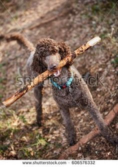 Stock Photo: Brown poodle standing in the springtime forest ready for action with a stick. -