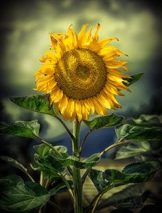 Sunflower by David Naman on 500px