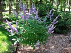 V is for Vitex, or Chaste Tree.  Vitex is used as a medication for women experiencing difficulties during perimenopause.  Vitex blossom spikes resemble of a butterfly bush, but the Vitex leaves are tidier and prettier.  They grow to fifteen feet, so they are not for the faint of heart.  I still have one in a large pot, wondering if I will need it to replace my redbud of questionable health, in my zone 7, edge-of-the-Piedmont, Central Virginia garden.