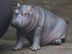 In the Prague zoo-born Hippo 14