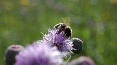 Пчелка на розовом осоте