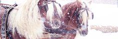 Kohlfuchs Haflinger Luber - Außergewöhnliche Haflinger Hengste von Sandra Luber - Winter Wonderland 2015
