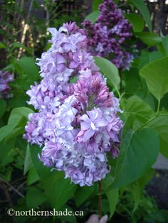 Syringa vulgaris 'Wedgewood Blue' lilac..... Love the coloring on this one!