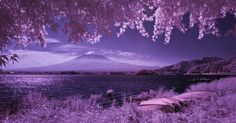 Fuji-san under Maples with Row Boats on Lake Kawaguchi, a Panorama in Purple | by aeschylus18917